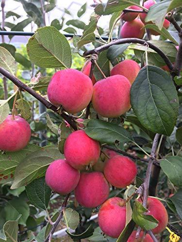 Apfelbaum Sibirische Renette