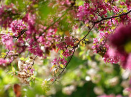 Kirschbaum, Baum